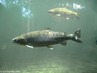 Image, 2005, Rainbow Trout, Bonneville Fish Hatchery, click to enlarge