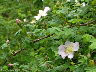 Image, 2005, Wild Rose, Columbia River Gorge, click to enlarge