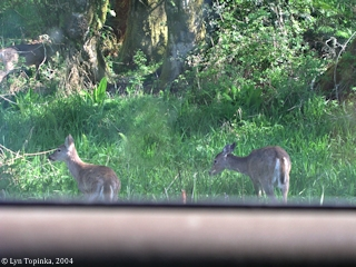 Image, 2004, Julia Butler Hansen Refuge, deer from car window, click to enlarge