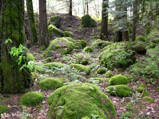 Image, 2005, Moss covered boulders, flood of 1894, click to enlarge