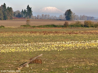 Image, 2005, Mount St. Helens from Sauvie Island, click to enlarge