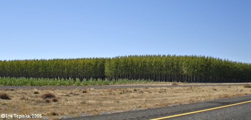 Image, 2005, Hybrid Poplars, Potlatch Plantation, Oregon, click to enlarge