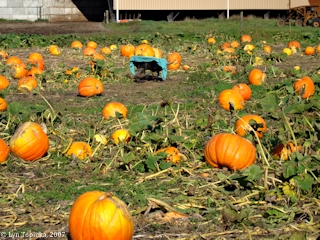Image, 2007, Pumpkin Patch, Woodland, Washington, click to enlarge