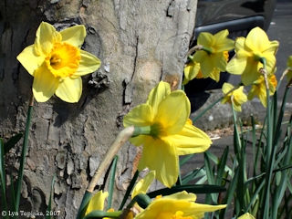 Image, 2007, Daffodils, Woodland, Washington, click to enlarge