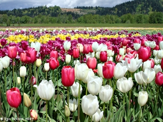 Image, 2007, Tulips, Woodland, Washington, click to enlarge