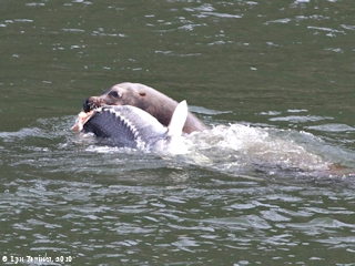 Image, 2010, Sturgeon and Sea Lion at Bonneville Dam, click to enlarge