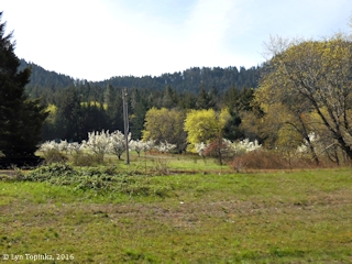 Image, 2016, Orchards along Mitchell Point Drive, Oregon, click to enlarge